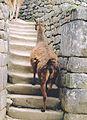 Alpacas walking in Machu Picchu the Inca empire.jpg