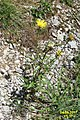 Alpine flora (Mit) (24032497018).jpg