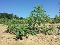Amaranthus albus sl53.jpg