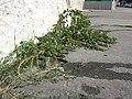 Amaranthus viridis sl46.jpg
