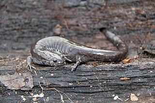 Small-mouth salamander species of salamander