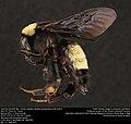 American Bumble Bee, female (Apidae, Bombus pensylvanicus (De Geer)) (35819437262).jpg