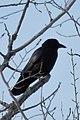 American Crow (Corvus brachyrhynchos) - Thunder Bay, Ontario.jpg