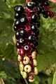 American Pokeweed (Phytolacca americana) - Kitchener, Ontario 04.jpg