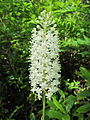 Amianthium muscitoxicum Lackawanna.jpg