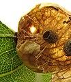 Amphibolips quercusinanis gall.jpg