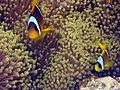 Amphiprion bicinctus St John reef.JPG