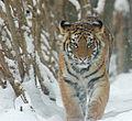 Amur Tiger Panthera tigris altaica Cub 2184px.jpg