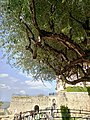 An Old Tree.jpg