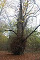 An arboreal oddity, Five Hundred Acre Wood - geograph.org.uk - 1585007.jpg