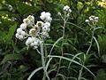 Anaphalis margaritacea - Pearly everlasting - Immortelle (6013471739).jpg