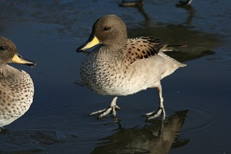 Yellow-billed teal - Sharp-winged teal, A. f. oxyptera