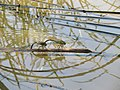 Anax parthenope laying eggs - 1.jpg