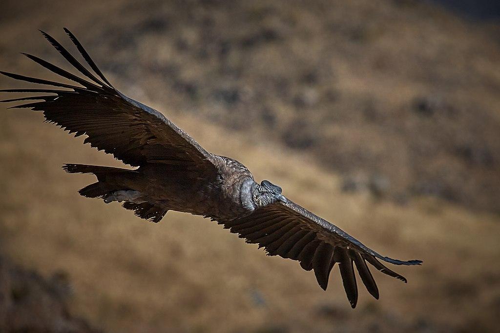 Andescondor - De Grote Vijf van Patagonië