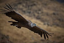Andean Condor in flight.jpg
