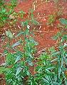 Andrographis paniculata Plant.JPG
