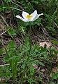 Anemone alpina RF.jpg