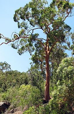 Angophora costata-tree