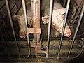 Animal Cruelty Iowa Select Farms IS 2011-06-02 04 (5840798609).jpg