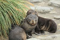 Two furry, dark-brown seal pups in the sand, sitting next to some tall, green grass