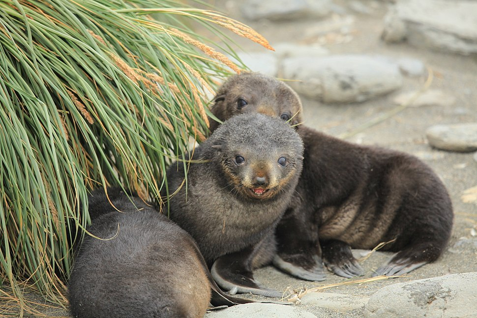 Antarctic Fur Seal Pups play amid Tussock Grass (5723988869)