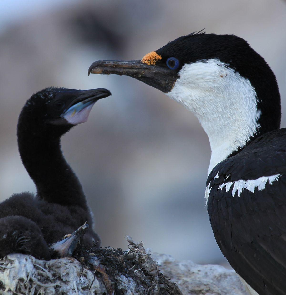 Antarctic shag - Wikipedia - photo#31