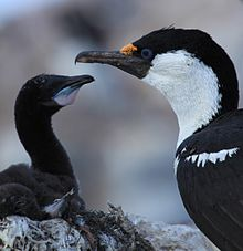 Antarctic Shag with chick at Jougla Point, Antarctica (6063675696).jpg