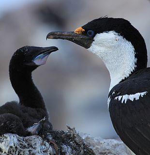Antarctic shag Species of bird