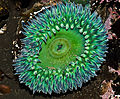 Anthopleura sola - (Giant Green Anemone) (6497660529).jpg