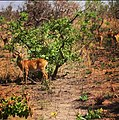 Antilope pendjari.jpg