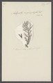 Antipathes myriophylla - - Print - Iconographia Zoologica - Special Collections University of Amsterdam - UBAINV0274 109 08 0004.tif