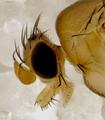 Apocephalus borealiscommonsAdultFemaleHead Detail.png