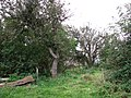 Apple trees - geograph.org.uk - 984194.jpg