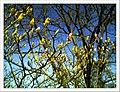 April Magnolia grandiflora Freiburg Botanischer Garten - Master Botany Photography 2013 - panoramio (11).jpg