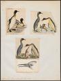 Aptenodytes pennantii - 1700-1880 - Print - Iconographia Zoologica - Special Collections University of Amsterdam - UBA01 IZ17800267.tif