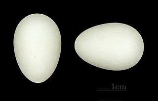 Vajíčka dážďovníka