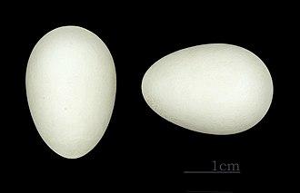 Common swift - Eggs of Apus apus