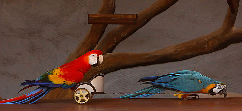 500px Ara macaws with a small chariot at an exhibition 8