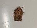 Arachnographa micrastrella (37107845263).jpg