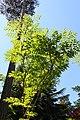 Aralia chinensis.JPG