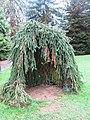 Arboretum de Bagnoles - Épicéa pleureur 2.jpg