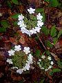 Arbustes viorne en période de floraison printanière (5729460814).jpg