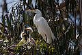 Ardea alba -chicks and nest -Morro Bay Heron Rookery -8.jpg