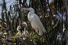 Ardea alba -chicks and nest -Morro Bay Heron Rookery -8