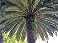 Arecales - Phoenix canariensis - 4.jpg