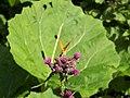 Argynnis paphia on cirsium palustre.JPG