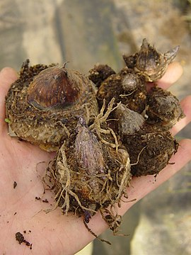 Arisaema triphyllum bulbs.JPG
