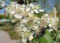 Aronia arbutifolia 'Brilliantissima' - United States Botanic Garden - DSC09472.JPG