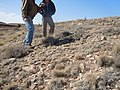 Artemisia bigelovii — Matt Lavin 002.jpg