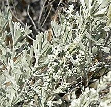 Artemisia tridentata 2.jpg